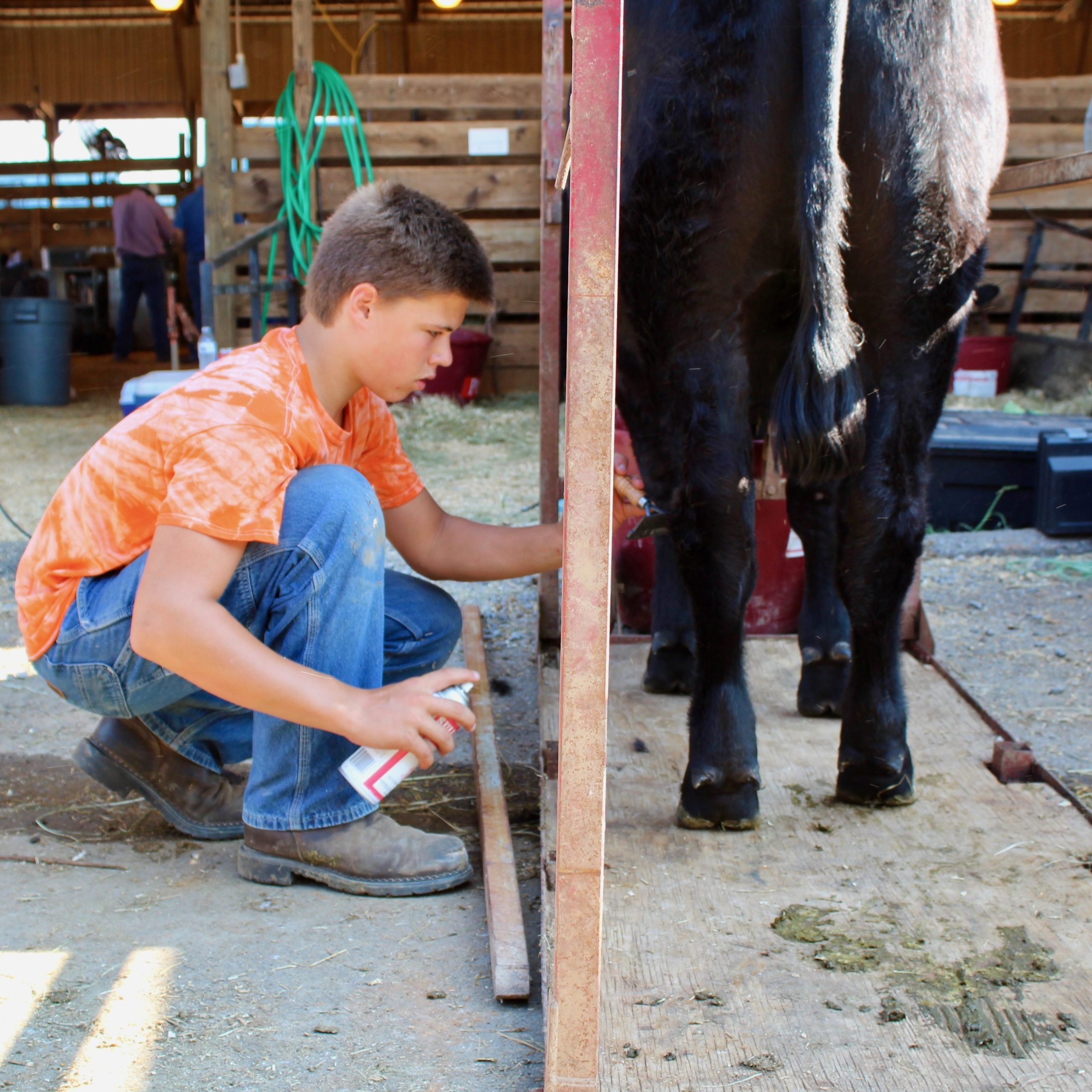 youth show fitting a cow