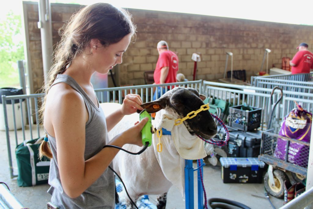 girl clipping a sheep preparing for a show